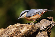 Bird Prints Prints - Nuthatch Print by Grant Glendinning