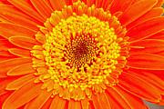Orange Gerber Print by Borislav Marinic