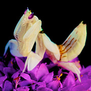 Etc. Art - Orchid Female Mantis  hymenopus coronatus  8 of 10 by Leslie Crotty