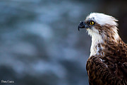 Eagles Photographs Posters - Osprey Collection Poster by Peter Evans