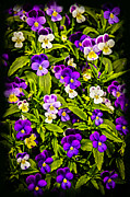 Gardening Metal Prints - Pansies Metal Print by Elena Elisseeva