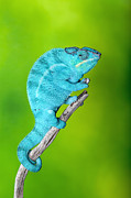 Robert Jensen Art - Panther Chameleon by Robert Jensen