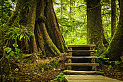 Walkway Posters - Path in temperate rainforest Poster by Elena Elisseeva