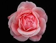 Carol Welsh - Pink Rose 3