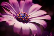 Hannes Cmarits - pink velvet