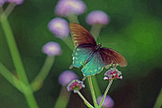 Antennae Digital Art - Pipevine Swallowtail Butterfly by Karen Adams