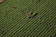 Agronomy Photos - Planted Cabbages Near The Village Of by Steve Brockett