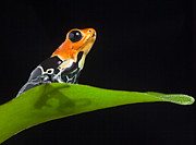 Dendrobates Fantasticus Photos - Poison Frog by Dirk Ercken