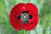 Poppy Flower Print by George Atsametakis