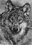 Faces Drawings - Portrait of a Gray Wolf by J McCombie