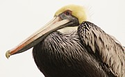 Pretty Pelican Print by Thomas Photography