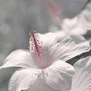 Pua Aloalo - Koki'o Ke'oke'o - Hibiscus Arnottianus - Hawaiian White Hibiscus Print by Sharon Mau