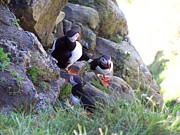 George Leask Art - 3 Puffins by George Leask