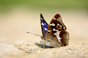 Mark Johnson - Purple Emperor