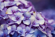 Purple Hydrangea Photos - Purple Hydrangea - VanDusen Botanical Garden by May L