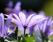 Wildflower Photography Prints - Purple Light  Print by Neal  Eslinger