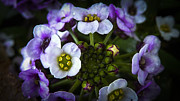 Carl Warren Metal Prints - Purple White Flowers  Metal Print by Carl Warren