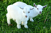 Appalachian Mountains Posters - Pygmy Goat Twins Poster by Thomas R Fletcher