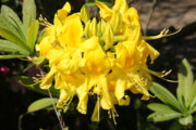 Bloosom Photos - Radiant Yellow by Christiane Schulze