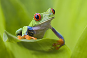 Suzi  Eszterhas - Red-eyed Tree Frog Costa...