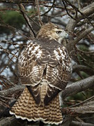 Red Tail Hawk Originals - Red Tail Hawk by Dennis Pintoski