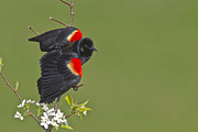 Red-winged Blackbird Print by James Mundy