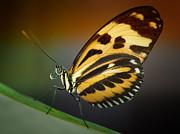 Resting Butterfly Print by Zoe Ferrie