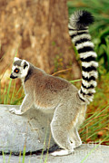 Jacksonville Framed Prints - Ring Tailed Lemur Framed Print by Millard H. Sharp