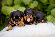 Puppies Framed Prints - 3 Rottweiler puppies Framed Print by James O Thompson