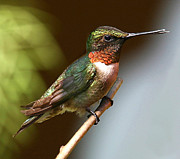 Perched Mixed Media Posters - Ruby Throated Hummingbird Poster by Dave Mellenbruch