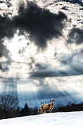 Crepuscular Rays Photos - Sheep and Sun Rays by Thomas R Fletcher
