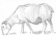 Quaint Drawings - Sheep Sketch by Mike Jory