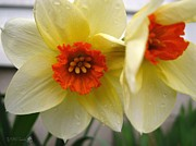 Mccombie Photos - Small-Cupped Daffodil named Barrett Browning by J McCombie