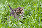 Furious Framed Prints - Small Kitten In The Grass Framed Print by Michal Boubin