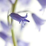 Spring Bluebells Print by Carol Leigh