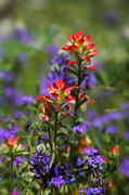 Indian Paintbrush Prints - Spring Flowers  Print by Saija  Lehtonen