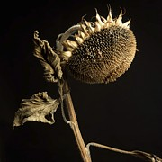 Studio Shot Photo Prints - Sunflower Print by Bernard Jaubert