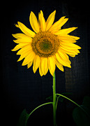 Bloom Photo Metal Prints - Sunflower Metal Print by Edward Fielding