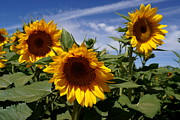Farmstand Photo Metal Prints - 3 Sunflowers Metal Print by Kerri Mortenson