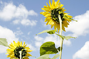 Season Photo Prints - Sunflowers Print by Les Cunliffe