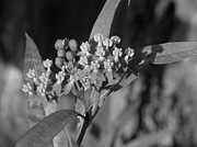 Swamp Milkweed Photos - Swamp Milkweed by Ron Davidson