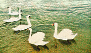 Balaton Paintings - Swans in the lake by Odon Czintos