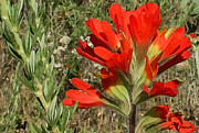 Texas Art - Texas Paintbrush by Ellen Henneke