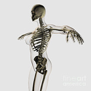 Human Skeleton Posters - Three Dimensional View Of Female Poster by Stocktrek Images