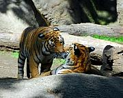 Scenes From Far And Near Framed Prints - Tiger Love 2 Framed Print by Mel Steinhauer