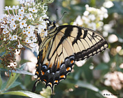 Terry Jacumin - Tiger Swallowtail