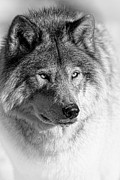 Wolves Photos - Timber Wolf Portrait by Michael Cummings