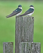 Kathy Rinker - Tree Swallows