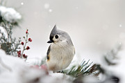 Baeolophus Bicolor Posters - Tufted Titmouse Poster by Christina Rollo