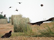 Hay Bales Digital Art Posters - Turkey Vultures Poster by J McCombie
